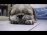 Засыпающий щенок